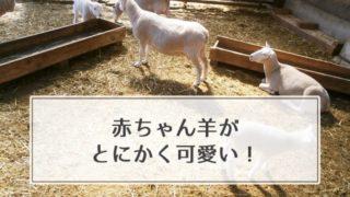 マザー牧場の赤ちゃん羊